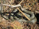 Huge snake seen at the summer cottage.